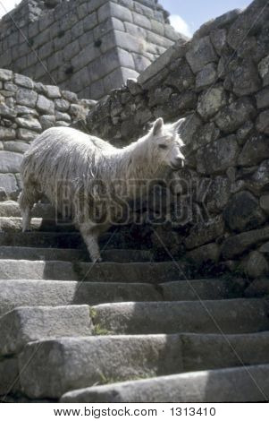 Alpaca absteigende Inca Treppe