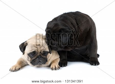 Couple of purebred pugs isolated on white