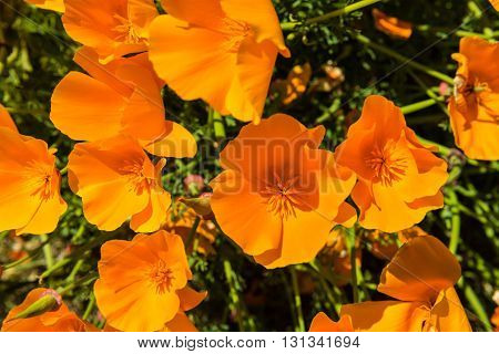 Orange Poppies In A Summer Meadow On Sunny Day