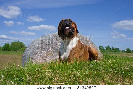 big stone,dog of breed the boxer, a brown color, tiger strips, a white breast, the wood, a green young grass, trees on a background,