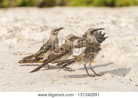 Galapagos Hood Mockingbird