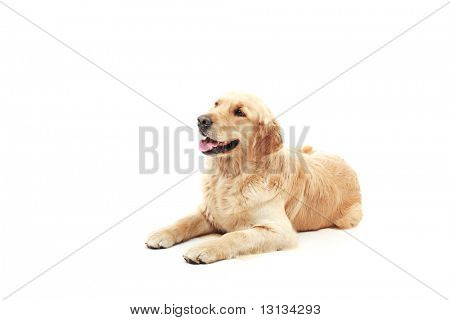 Golden Retriever im Studio.