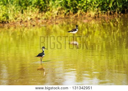 Black Necked Stilt, In The Pond In The Galapagos