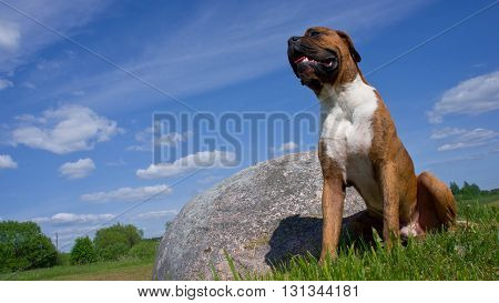 dog of breed the boxer, about a big stone, a green grass, the wood on a background