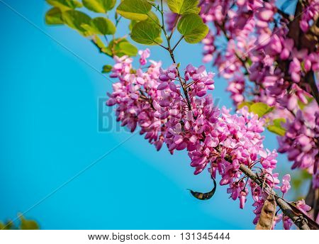 Pink cherry blossoms against a blue sky in Germany
