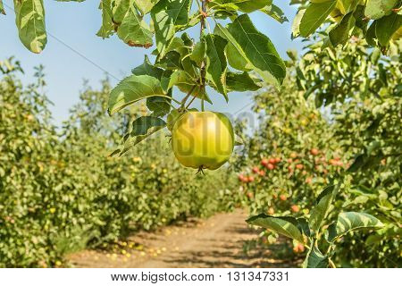 Ripe apple on a branch surrounded by a garden with fruit harvest on a sunny autumn day close up