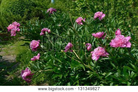 Group of bright pink peony flowers is on green background of green lush foliage with green rose chafer beetle on flower on foreground.