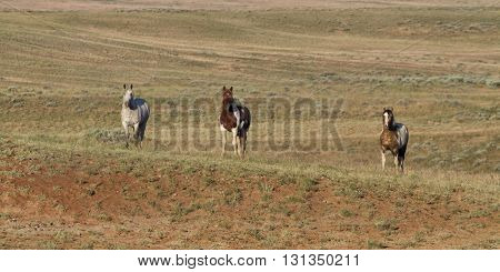 Three wild horses in a Wyoming wild horse range