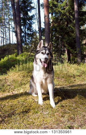 the wood, a green young grass, trees on a background, a dog of breed a malamute, a color white  with gray,