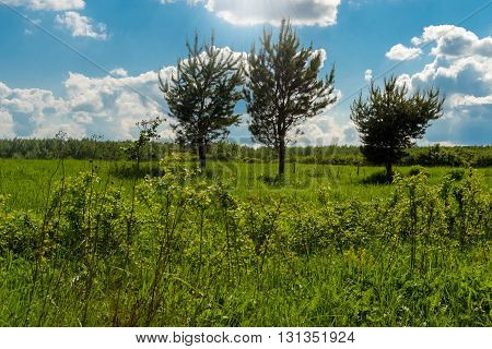 Three pine trees in a sunny wood glade under the blue sky.