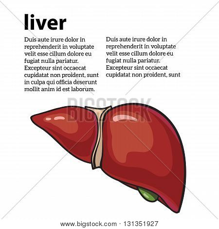 Healthy human liver, vector illustration sketch drawn by hand, isolated on a white background, human liver of a healthy person, the anatomy of the internal organs,