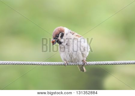 chubby funny bird Sparrow sitting on the rope with his beak full of ladybugs