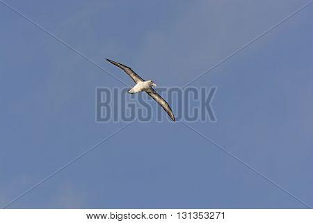Wandering Albatross in Flight around Cape Horn in South America
