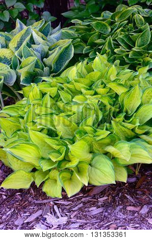 Green and Gold Variegated Hostas Hostas are Perennial Plants That Grow in Shady Areas