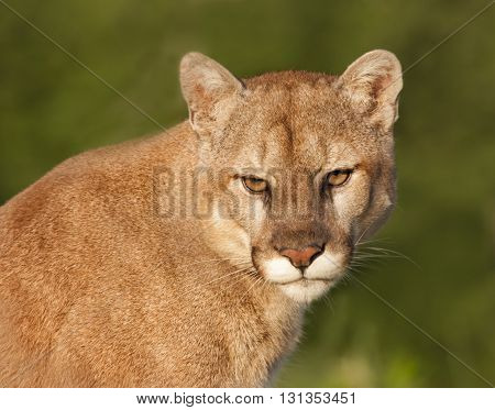 Mountain Lion head and shoulders portrait in golden light