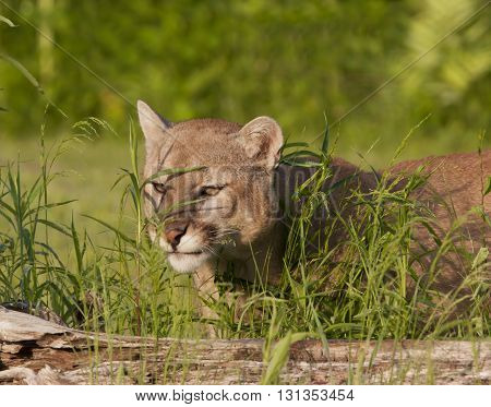 Cougar Peeking through tall grasses behind a log