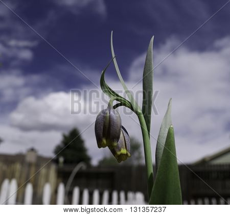 flowers surrounded by a white picket fence against a cloud studded blue sky