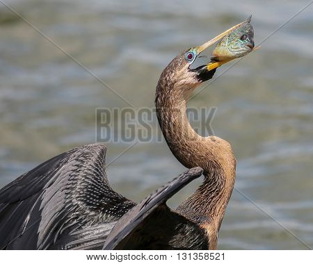 An open winged bird with a fish in its mouth