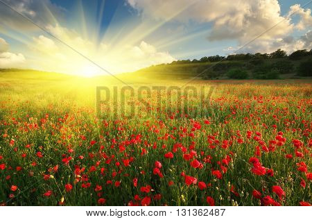 Big poppy meadow. Spring nature composition.