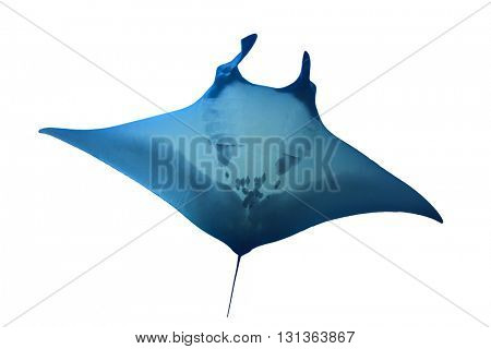 Manta Ray isolated on white background
