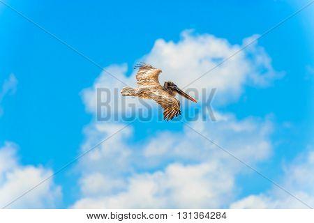 Brown Pelican In Flight Over Galapagos Islands