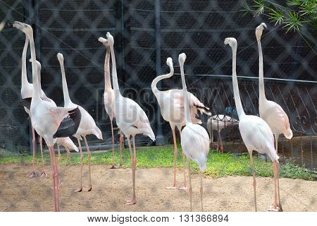 several flamingos in zoo in  Cha Am ,thailand