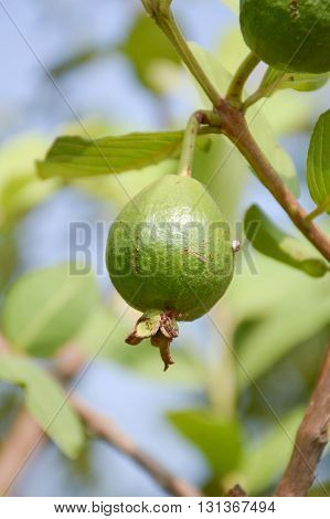 close up green guava in fruit garden