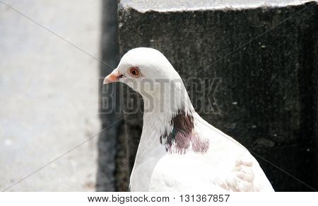White dove. Feral Pigeon. Portrait.