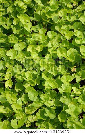 fresh green Centella asiatica in nature garden