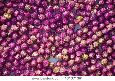 beautiful fresh globe amaranth flower texture background