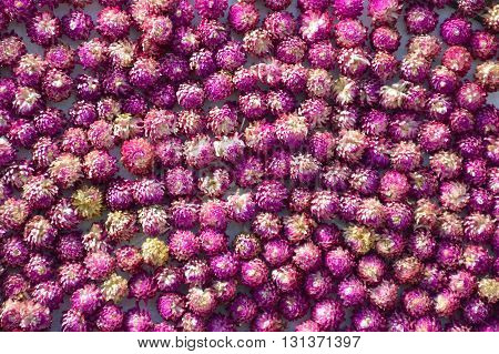 fresh globe amaranth flower texture for background