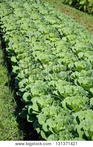 fresh green cauliflower plants in vegetable garden