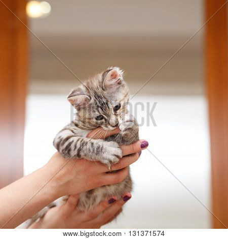 Kuril Bobtail gray kitten biting finger hostess. Thoroughbred cat. Cute and funny kitten. Pet.