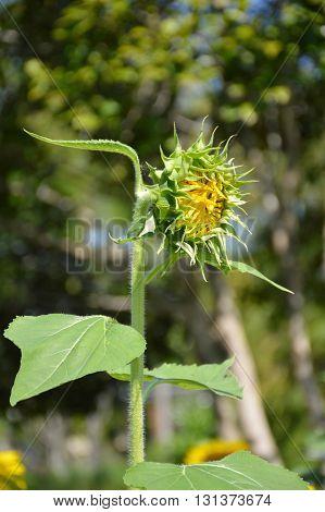 close up beautiful bud sunflower in nature garden
