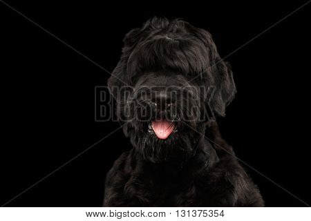 Closeup Portrait of Big Russian Black Terrier Dog with tongue on Isolated Background Front view