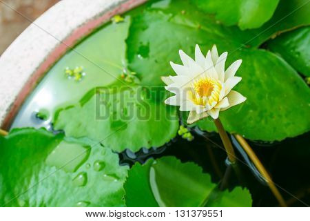 Close up of Lotus flower in pond.