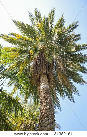 Date Palm or Phoenix dactylifera tree in nature garden