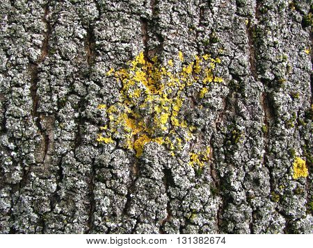 yellow and cian  lichen on the willow bark
