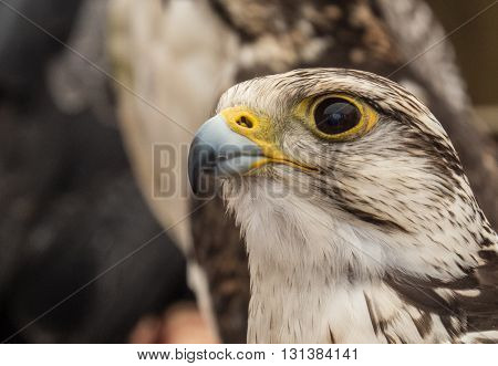 Hawk, eagle, falcon, kestrel in Trasmoz, Zaragoza, Aragon Spain
