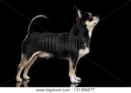 Gorgeous Chihuahua Dog Standing on Mirror and Looking up Black Isolated Background