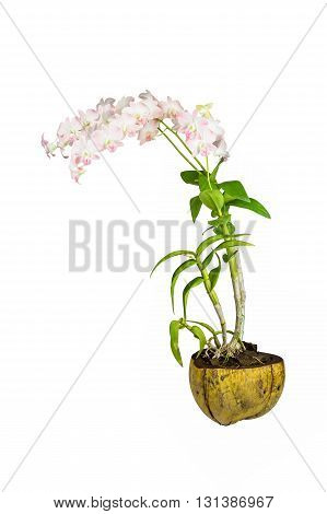 Dendrobium orchid in coconut shell pot isolated on white background