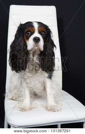 Cavalier King Charles Spaniel Dog Posing At A Dog Show