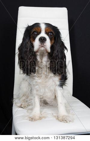 Lovely Cavalier King Charles Spaniel Dog Posing