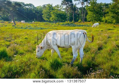 White cow grazing and wagging its tail in a Dutch nature area with moorland and woods in low sunlight early in the morning.