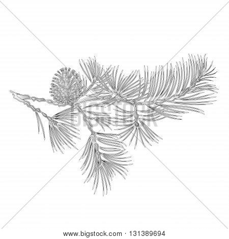 Branch Pine and pine cone as vintage engraving natural background vector illustration