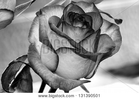 Black And White Rose Flowers