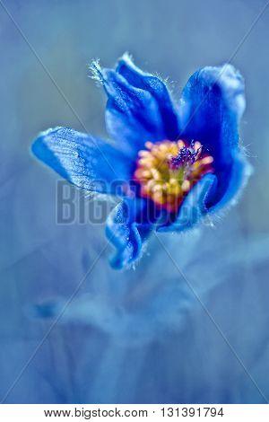 Anemone patens. blue Spring flower. Pasque flower - Pulsatilla patens Flower Sleep - grass