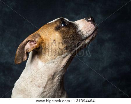 American Bull Dog Puppy