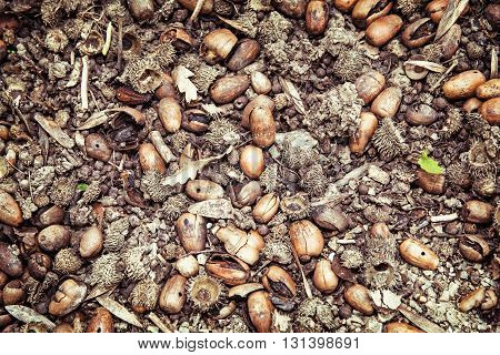Background of dried acorns. Seasonal natural scene. Autumn background.