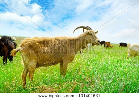 Flock domestic goats grazing on pasture